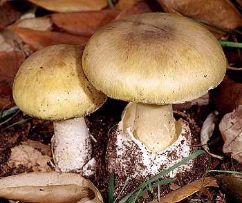 Deathcap Mushroom